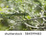 Small photo of African chameleon (Chamaeleo africanus)