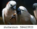 two parrots nibbling something... | Shutterstock . vector #584615923