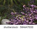 syntomis phegea on a lavender... | Shutterstock . vector #584647033