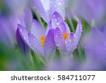 Bumble Bee On Spring Crocus In...