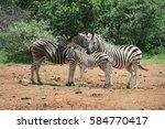 zebra family of four in... | Shutterstock . vector #584770417