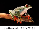 Small photo of Red eyed tree frog at night on a twig in the rain forest. Agalychnis callydrias