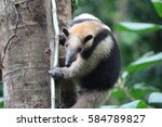 anteater climbing a tree in... | Shutterstock . vector #584789827