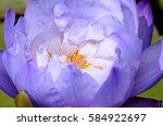 purple lotus.