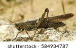 Small photo of grasshopper, locust, Acrididae