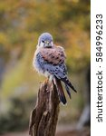 Small photo of American Kestrel Falco sparverius sat on a branch in fall autumn in the woodland forest