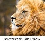 portrait of male lion in cape... | Shutterstock . vector #585170287