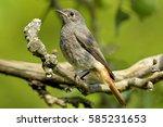 young common redstart | Shutterstock . vector #585231653