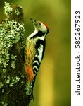 middle spotted woodpecker  ... | Shutterstock . vector #585267923