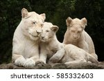 female white lion with two... | Shutterstock . vector #585332603