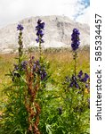 Small photo of Flower of the Dolomites. Aconitum napellus with the mountain in background.