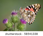 A Painted Lady Butterfly Has...