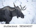 Small photo of Wild Alaskan Moose