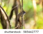 Small photo of Puff-throated Bulbul songbird olive yellow bird with puffy white throat feathers perching on branch with blurred green forest, background in Thailand, Asia (Alophoixus pallidus)