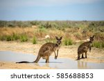 Two Kangaroos Cool Down In A...