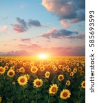 field of sunflowers on the... | Shutterstock . vector #585693593