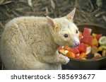 The Ring Tailed Possum Is...