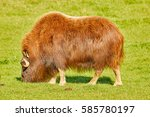 Small photo of The muskox, also spelled musk ox and musk-ox, Arctic mammal of the family Bovidae, Alaska, USA
