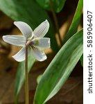 shy endangered species  dwarf... | Shutterstock . vector #585906407