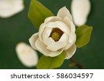 Magnolia Tree Blossom  ...