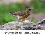 beautiful brown bird  eyebrowed ...   Shutterstock . vector #586058363