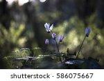 white and purple cyclamen... | Shutterstock . vector #586075667