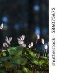 cyclamen flowerbed at dusk in... | Shutterstock . vector #586075673
