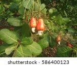 cashew nut  cashew | Shutterstock . vector #586400123