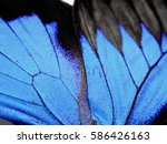 Black   Blue Papilio Butterfly...