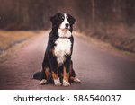 Bernese Mountain Dog  Sitting...
