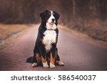 Bernese Mountain Dog  Sitting...