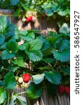 fresh strawberries that are... | Shutterstock . vector #586547927