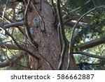 Small photo of Looking Up Red Bark Trunk Douglass Fir Tree Where two Grey Squirrels (Sciurus Carolinensis) Play & Fight, England UK