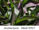 striped tulip leaves background   Shutterstock . vector #586673927