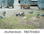 Flock Of Pigeons Eat On The...