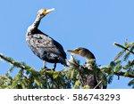 cormorant bird perched high in... | Shutterstock . vector #586743293
