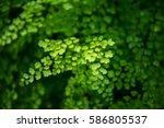 a blurred tree fern in rain... | Shutterstock . vector #586805537
