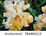 a yellow iris flower background  | Shutterstock . vector #586886213