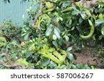 Small photo of Green snakes on the tree. A tropical forest. Vietnam