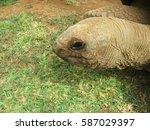 Head Study Of An Aldabran...