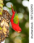 Small photo of Portrait of beautiful Chattering red Lory Lorius garrulus on a banana.
