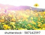 soft focus cosmos flowers in... | Shutterstock . vector #587162597