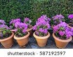 violet bougaville in flowerpot | Shutterstock . vector #587192597