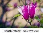 beautiful pink magnolia flower...   Shutterstock . vector #587295953