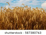 Field Of Ripe Wheat....