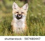 Kit Curiosity   A Red Fox Kit...