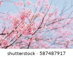 wild himalayan cherry with blue ... | Shutterstock . vector #587487917