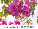 Blooming Bougainvillea ...