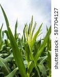 view of a maize argiculture... | Shutterstock . vector #587704127