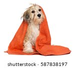 Stock photo cute wet havanese puppy dog after bath is sitting wrapped in an orange towel isolated on white 587838197